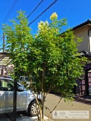 シマトネリコ 播磨町 スマイルガーデンディーズ
