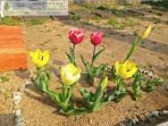 Smile Garden D's 明石 チューリップ 咲きました