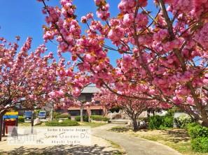 スマイルガーデン明石 八重桜
