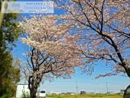 Smile Garden D's 桜 アーチ 現地調査 明石