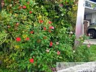 壁面緑化 バラ スマイルガーデンディーズ